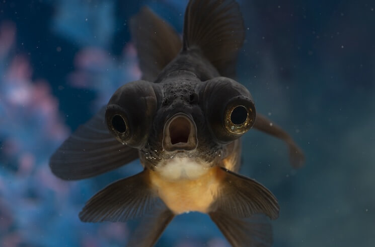 Black Moor Goldfish With Mouth Open