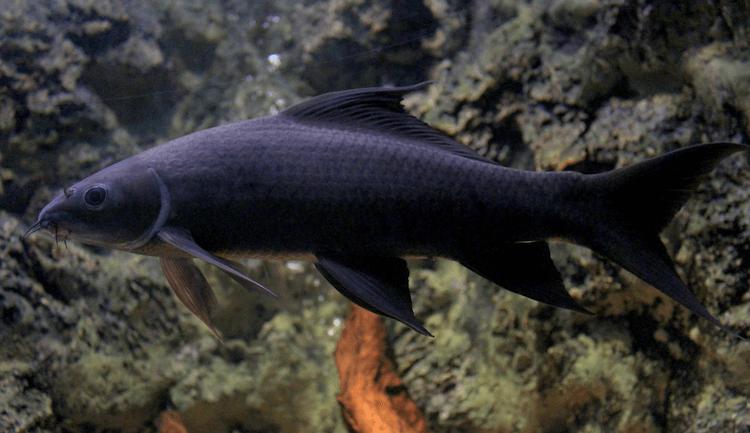 Black Sharkminnow