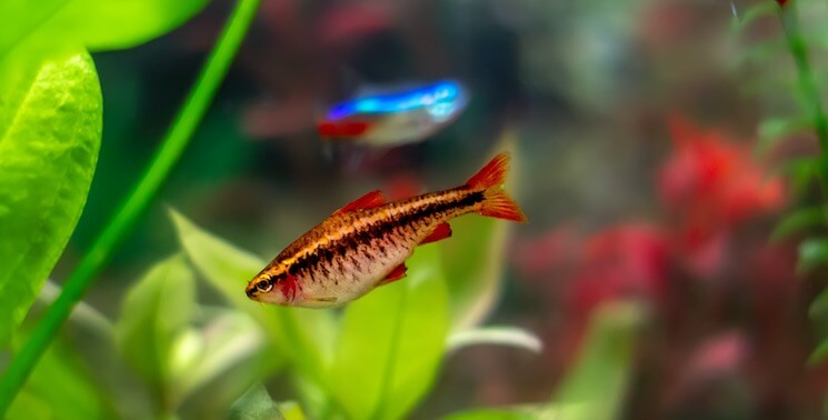 Cherry Barb With Neon Tetra