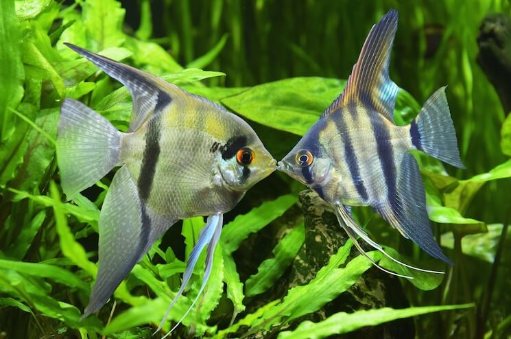 Common Angelfish