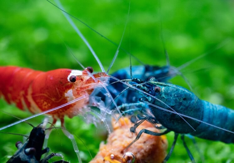 Crystal Red Shrimp Tank Mates