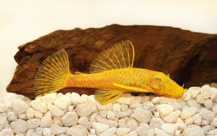 Golden Bristlenose Pleco