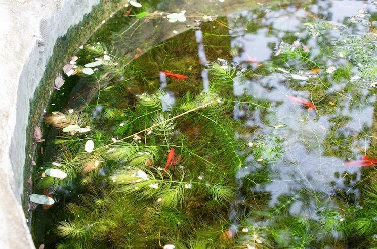 Goldfish Pond With Hornwort