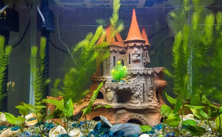 Hornwort In Aquarium