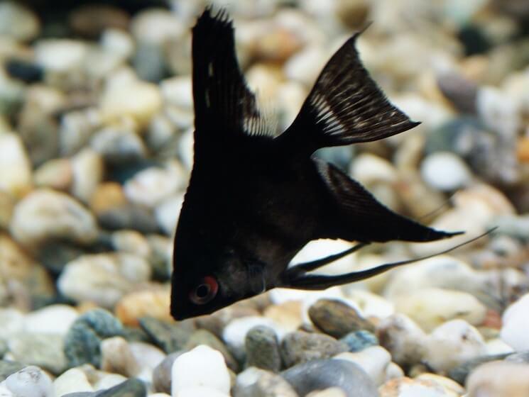 Raven Angelfish