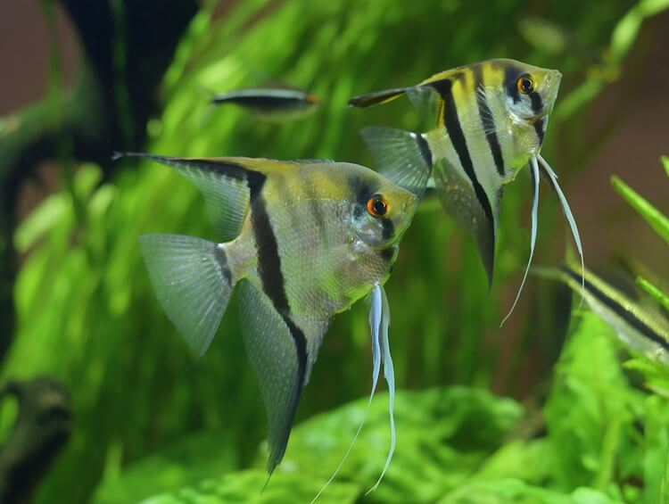 Top 17 Best Freshwater Angelfish (With Pictures) Cover