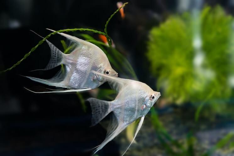 White Pearlscale Angelfish