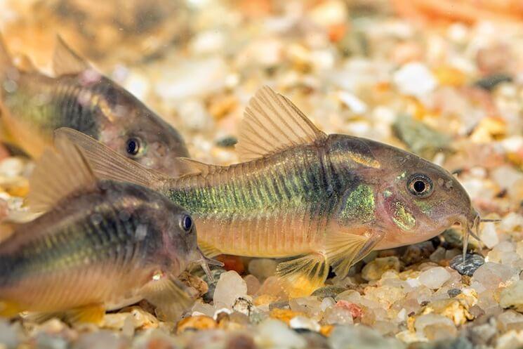 Albino Corydoras Catfish