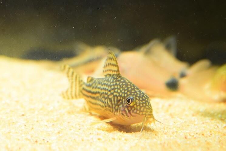 Cory Catfish Close Up