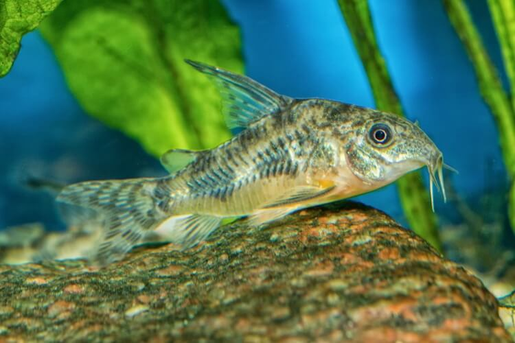 Cory Catfish Definitive Guide Types, Diet, Tank Mates and More… Cover