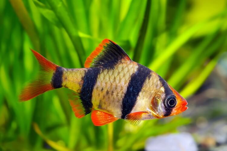 Tiger Barb Complete Care Guide, Types, Tank Mates and More… Cover